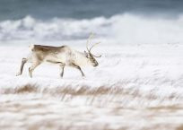 Reindeer at the beach in winter, near Hofn, Iceland, february 2010