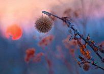 KK152_Echinopsis im Abendlicht_990