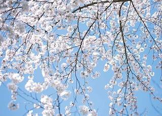 PK574 Weißer Frühling