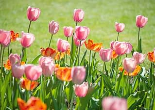 PK570 Tulpen im Licht