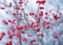 PK184_Hagebutten_im_Winter_990
