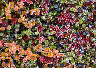 Picture of tundra vegetation in autumn colours on a frosted bottom, taken near Kaitumjaure, Laponia, Sweden, september 2008