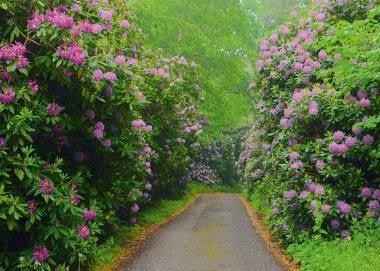 PK502_Rhododendron_Allee_Ruegen_Bartocha_990