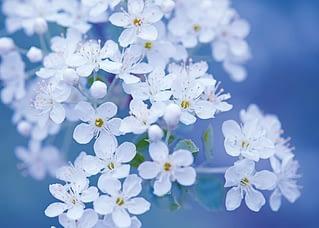 PK572 Weiße Kirschblüten