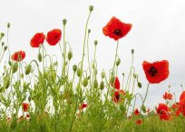 PK142_ImMohn_Bosboom_990