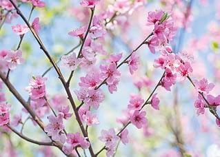 PK562 Pfirsichblüten