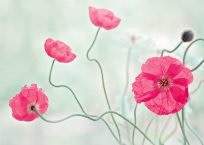 PK382_Islandmohn_in_Pink_990_NP